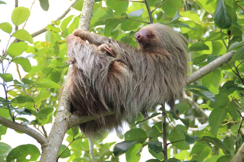 Faultier in Costa Rica